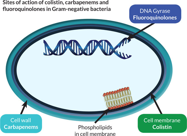 Sites of action of gram-negative bacteria